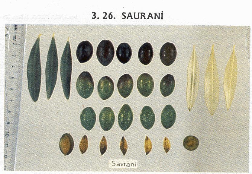 saurani